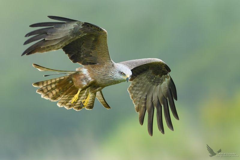 Kania Czarna, Black Kite (Milvus migrans) ...