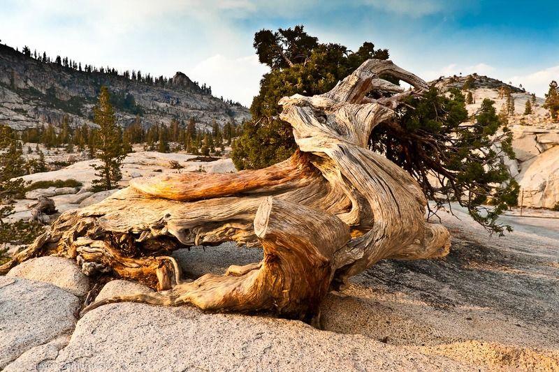 tree, yousimite, rock, mountain Древнее деревоphoto preview