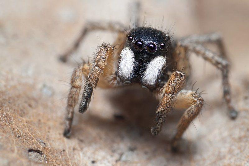 паук, скакун, макро, micro-nikkor af 105mm f/2.8 d, nikon d80 Стилягаphoto preview