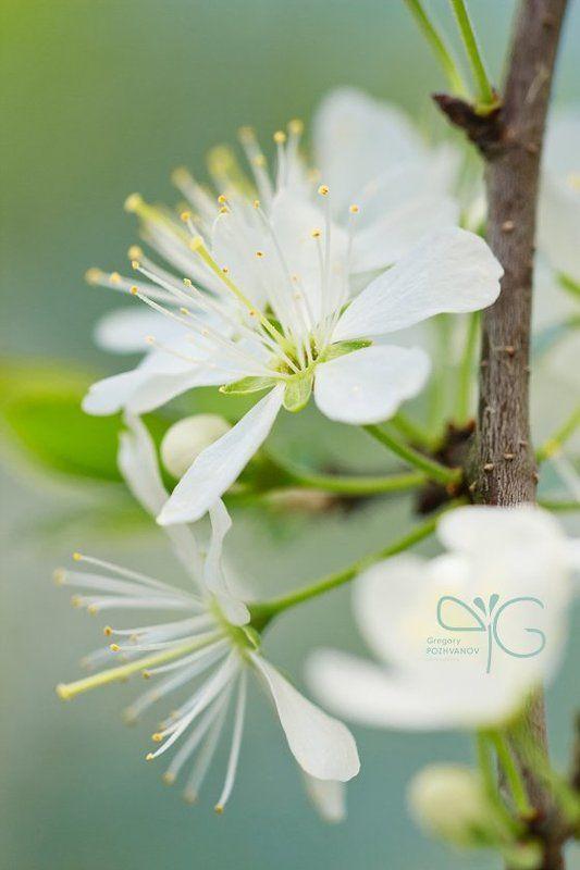 открытка, цветок, весна, белогорье, заповедник, дубрава, ворскла, лес, колючая, груша, терновник, терн photo preview