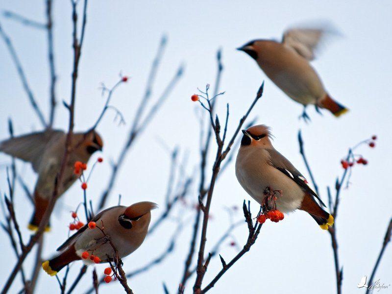 дикие, птицы, свиристель, рябина, зима, фотоохота Прилетели Свиристелиphoto preview