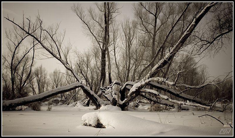 зима, деревья Тяжелая судьбаphoto preview