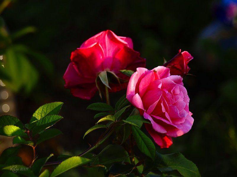 rare, raisa rare, розы, лето, розовые Розовые розы.photo preview