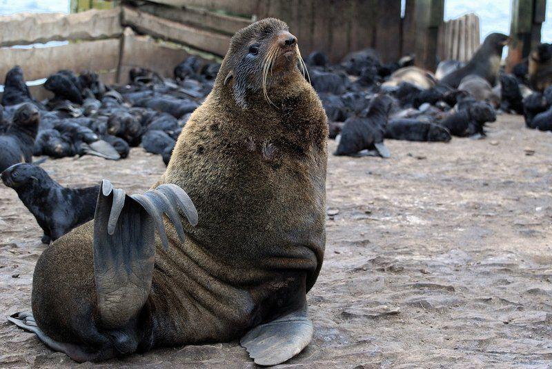 сахалин, тюлений,  тюлни,  сивучи,  морские  котикит На  острове  Тюленийphoto preview