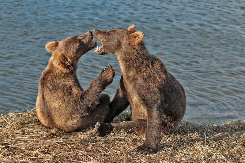 камчатка, медведь, озеро курильское Я старше! Нет, я!photo preview