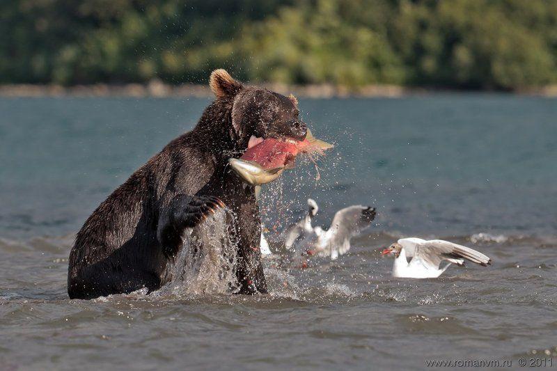 камчатка, медведь, озеро курильское, нерка Достал!photo preview