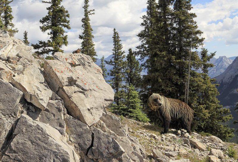 медведь, гризли, бурундук, горы, парк, банф, канада Первая встречаphoto preview