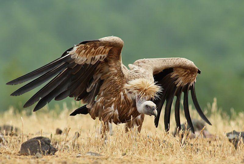 птица, грифон ***photo preview