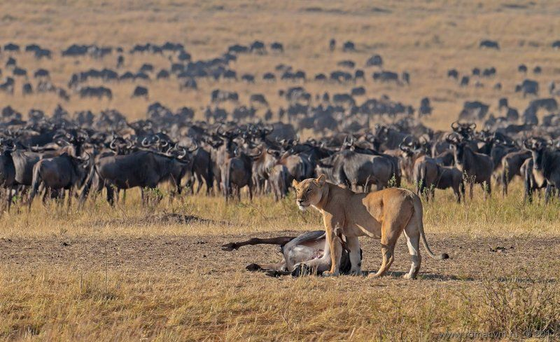 африка, кения, тран-мара, антилопа гну, лев Представление окончено. Зрители расходятся.photo preview