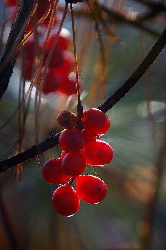 Шизандра – ягода пяти вкусовphoto preview