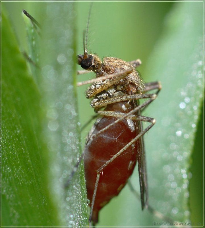 комар, трава, роса Накормил до сыта... я добрый...photo preview