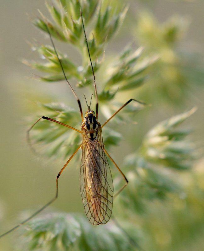 макро, комар, насекомые. \