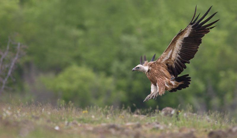 The king in flight (Gyps fulvus)photo preview