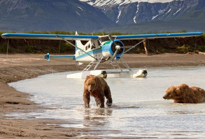 медведи, бурые, гризли, аляска, alaska, grizzly, brown, bear, bears, roman, golubenko, aircraft, coastal, photo, photographer, picture Путь к самолёту отрезан, настало время обсудить чьи в лесу шишки / Customs Patrol before the flight. Alaskaphoto preview
