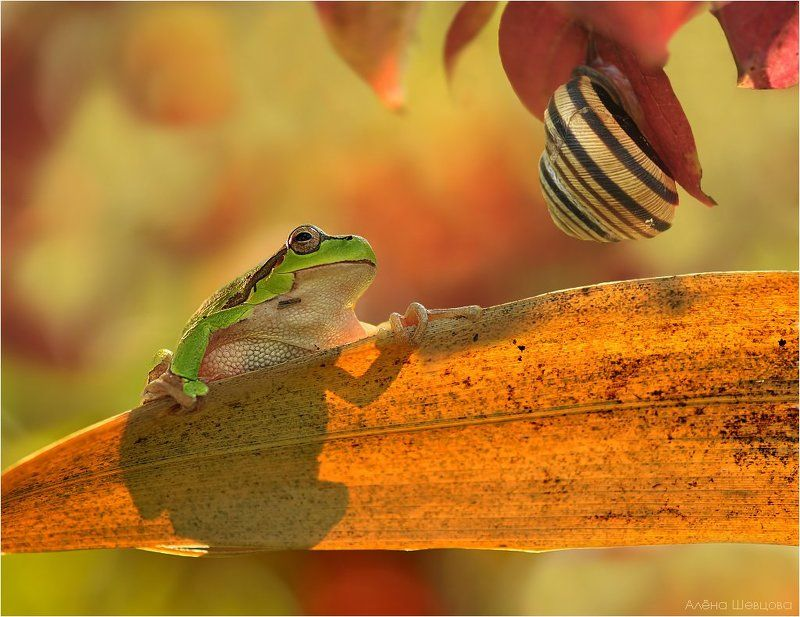 квакша, улитка, осень В огне осениphoto preview