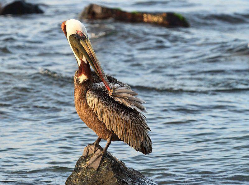 американский бурый пеликан, венесуэла Американский бурый пеликанphoto preview