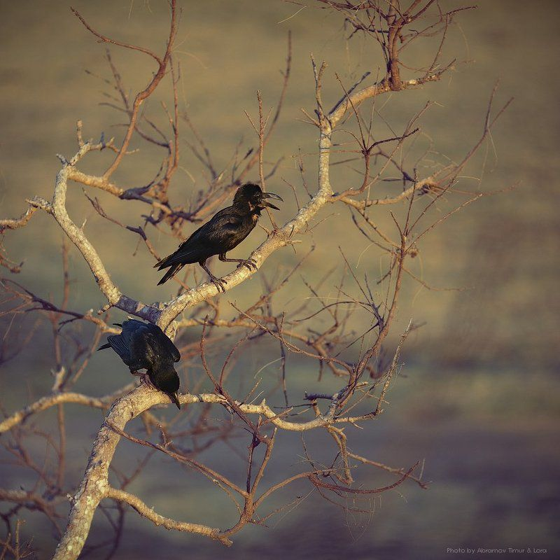 ворон, птица, шри-ланка, цейлон, миннерия Виноватый воронphoto preview