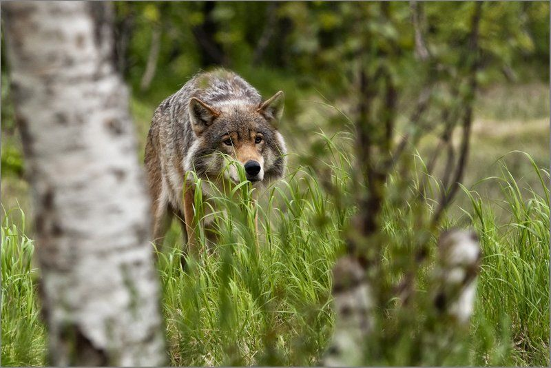 обыкновенный волк, canis lupus Хороший, плохой, злой...photo preview