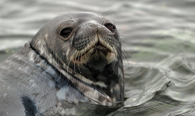 тюлень уэдделла, антарктика, king georg island заплывphoto preview