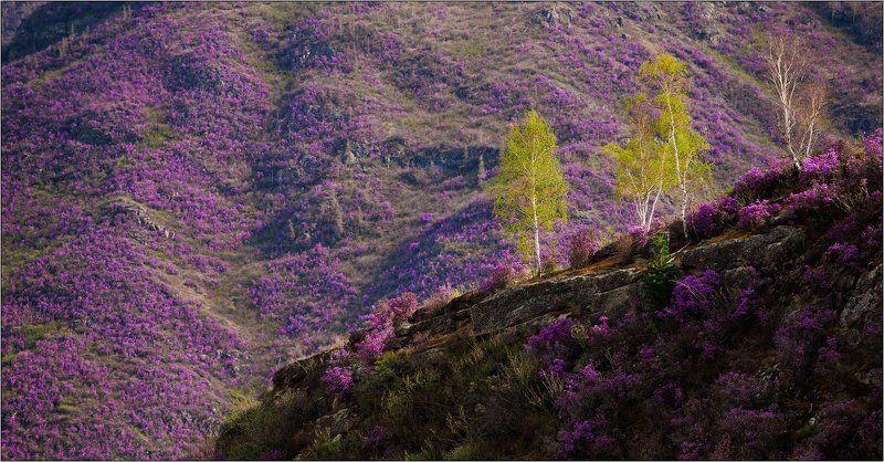 алтай, весна, багульник *photo preview