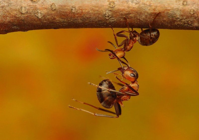 macro, insects, ants Stuntantsphoto preview