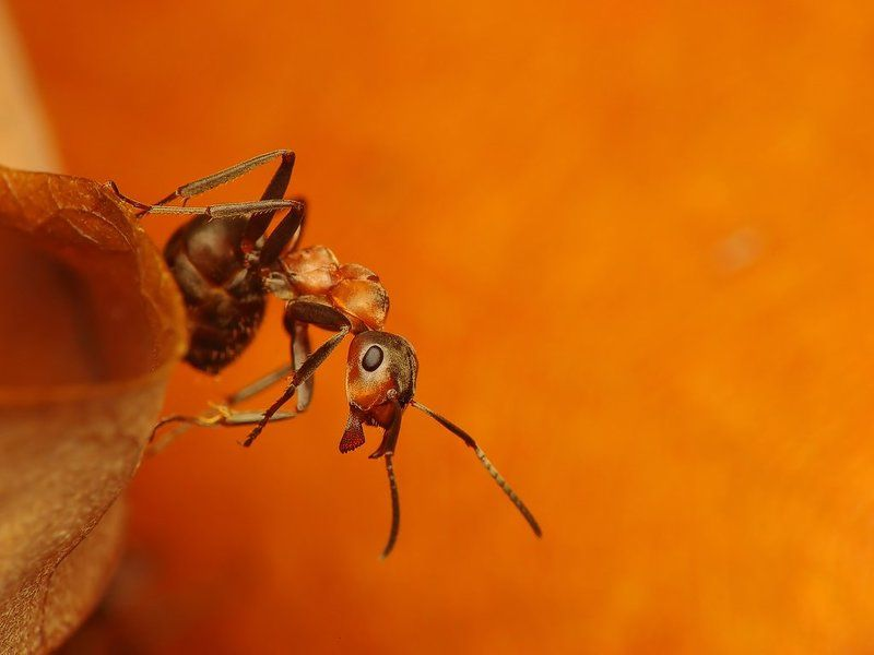 macro, insects, ants Commandophoto preview