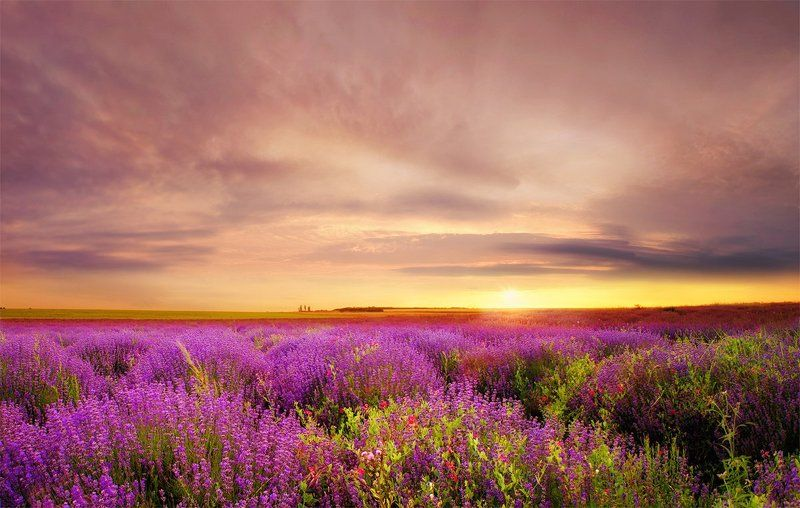 lavender, field, sunset Lavender at Sunsetphoto preview