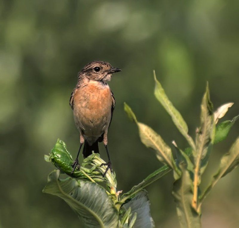 птица,луговой чекан,самка Луговой чекан. (Самка)photo preview