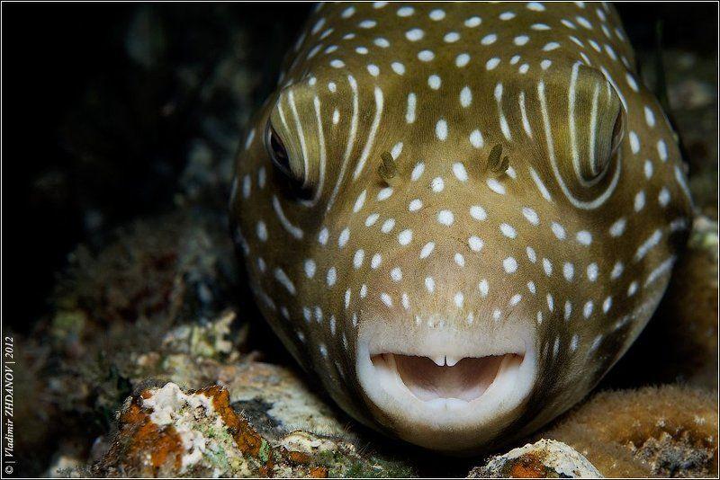 скалозуб, аротрон, иглобрюх, рыба, египет, дахаб, красное, море, подводное, фото, ночное, погружение Портрет Смеющегося Аротронаphoto preview