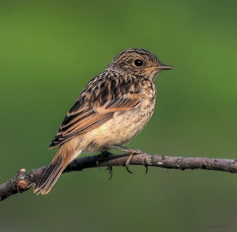 птица, птенец, черноголовый чекан Слёток черноголового чекана.photo preview
