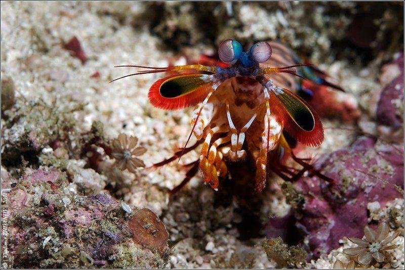 морская,   креветка,   богомол,   мантис,   odontodactylus,   scyallarus,   павлин,   раскрашенный,   арлекин,   хищное,   ракообразное - Проблемы?!..photo preview