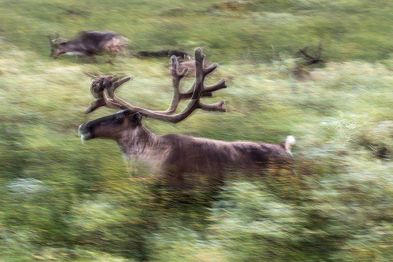 север,  путешествия,   жизнь на краю земли, северный  олень северный оленьphoto preview