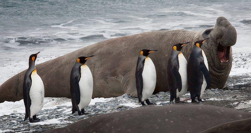 субантарктика, south, georgia Южная Георгия. Фауна.photo preview