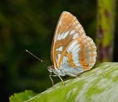 Limenitis helmanni