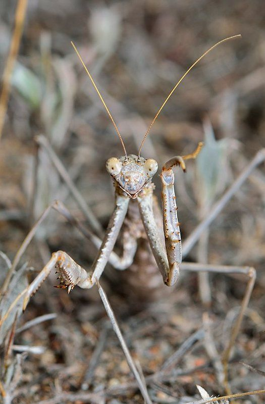 nikon, d7000, macro, kazakhstan, nature, казахстан, природа, mantis, макро, богомол Пока, до следующей фотосессии!photo preview