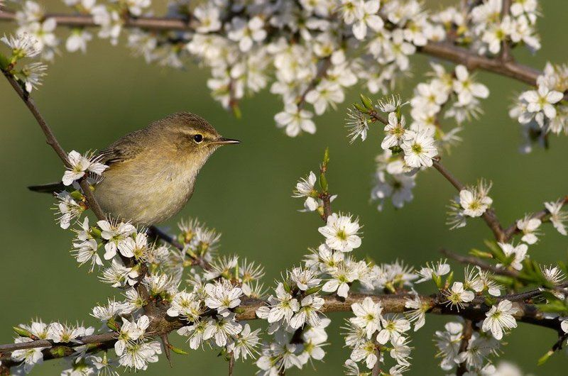 Common chiffchaffphoto preview