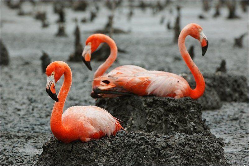 Phoenicopterus ruber (American Flamingo, Caribbean Flamingo)photo preview