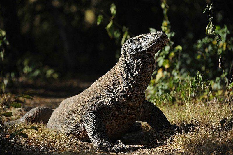 Комодский драконphoto preview