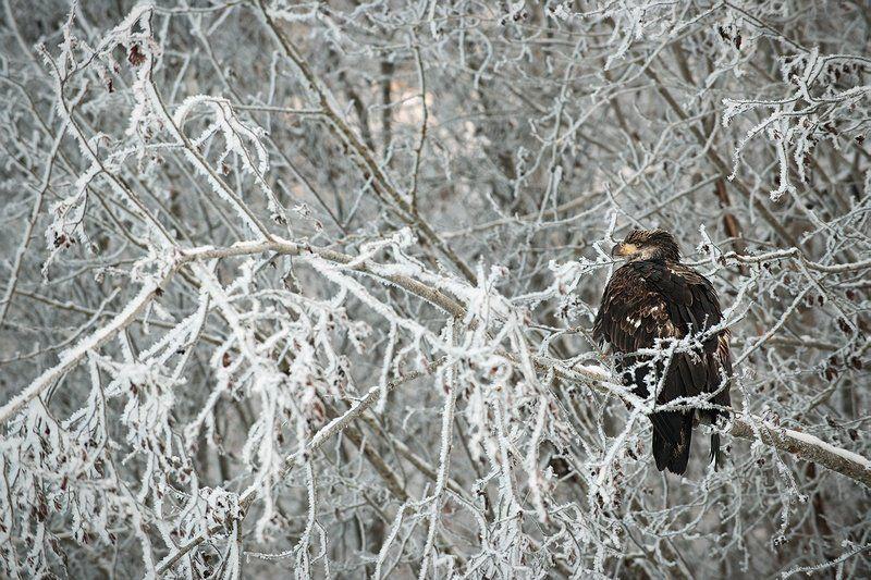 Молодой белоголовый орланphoto preview