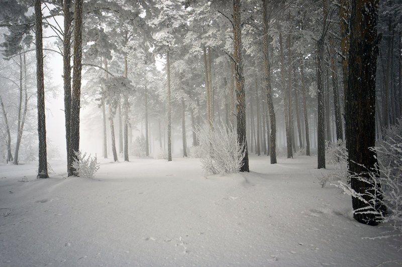 зима, снег, деревья, ветки, иней Утро в сосновом боруphoto preview