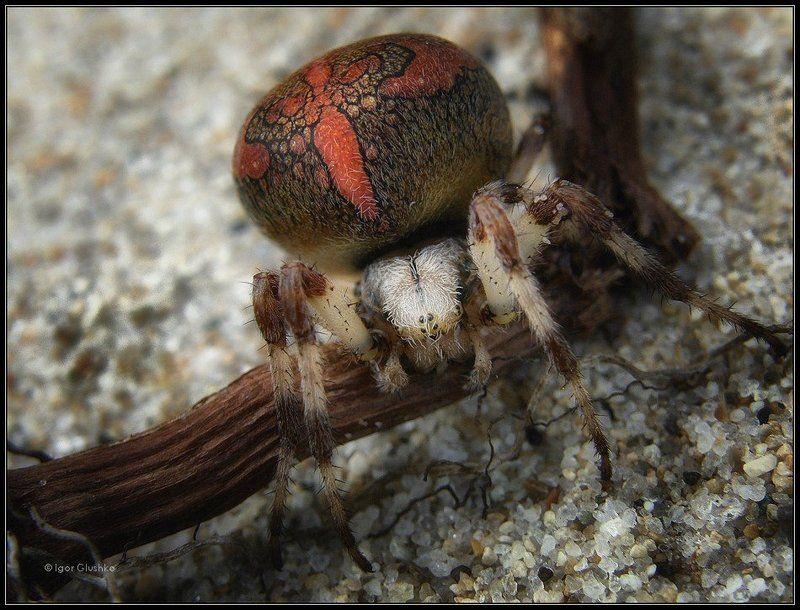 паук, арахнид Арахнидphoto preview