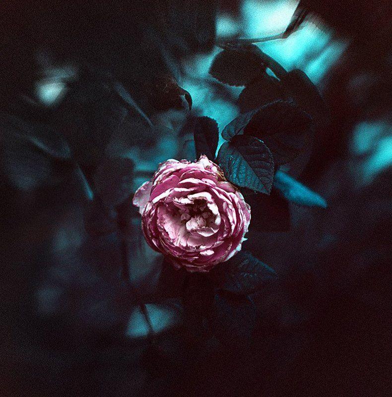 Rosephoto preview