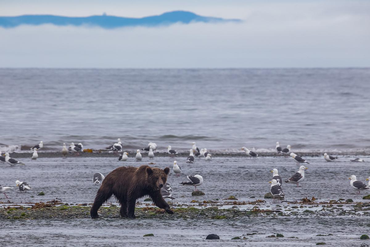 установить чукотка медведи едят кита фото сожалению