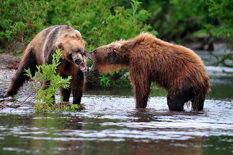 медведь bear горшков gorshkov, Sergey Gorshkov