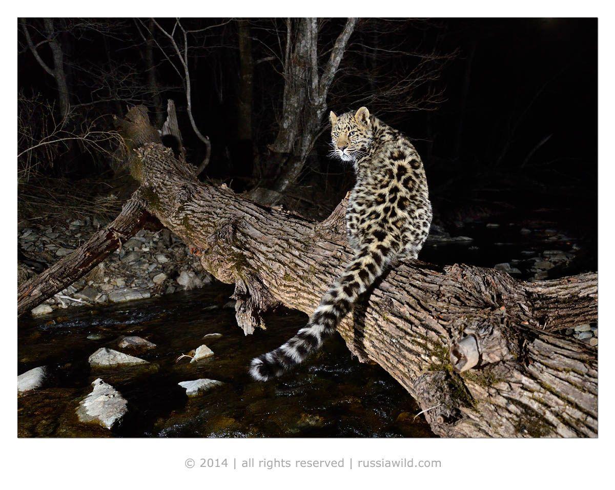 дальневосточный, леопард, Николай Зиновьев