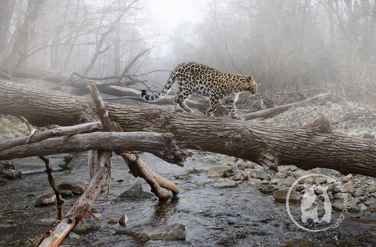 дальневосточный леопард, дикая природа россии, николай зиновьев, Николай Зиновьев