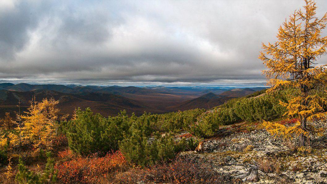 якутия, оймяконский район, лис, лиственница, осень, Александр Гиль