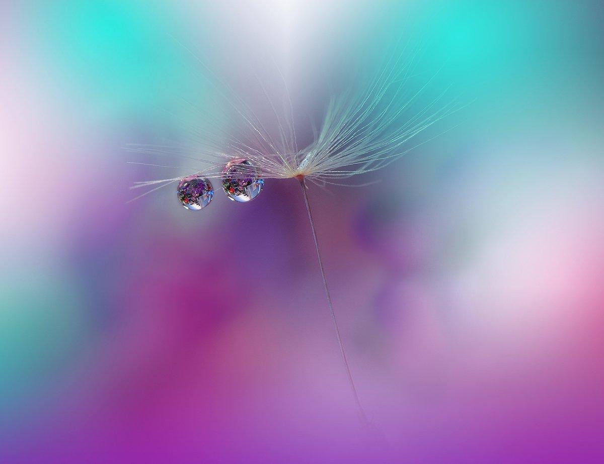 macro,closeup,drop,water,dandelion,nikon, Juliana Nan