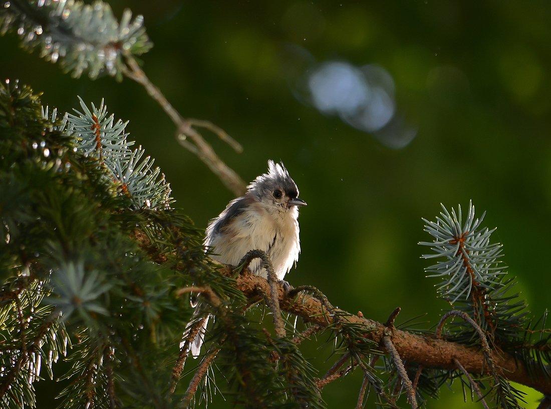 животные, пернатые, птицы, фауна, Антонина
