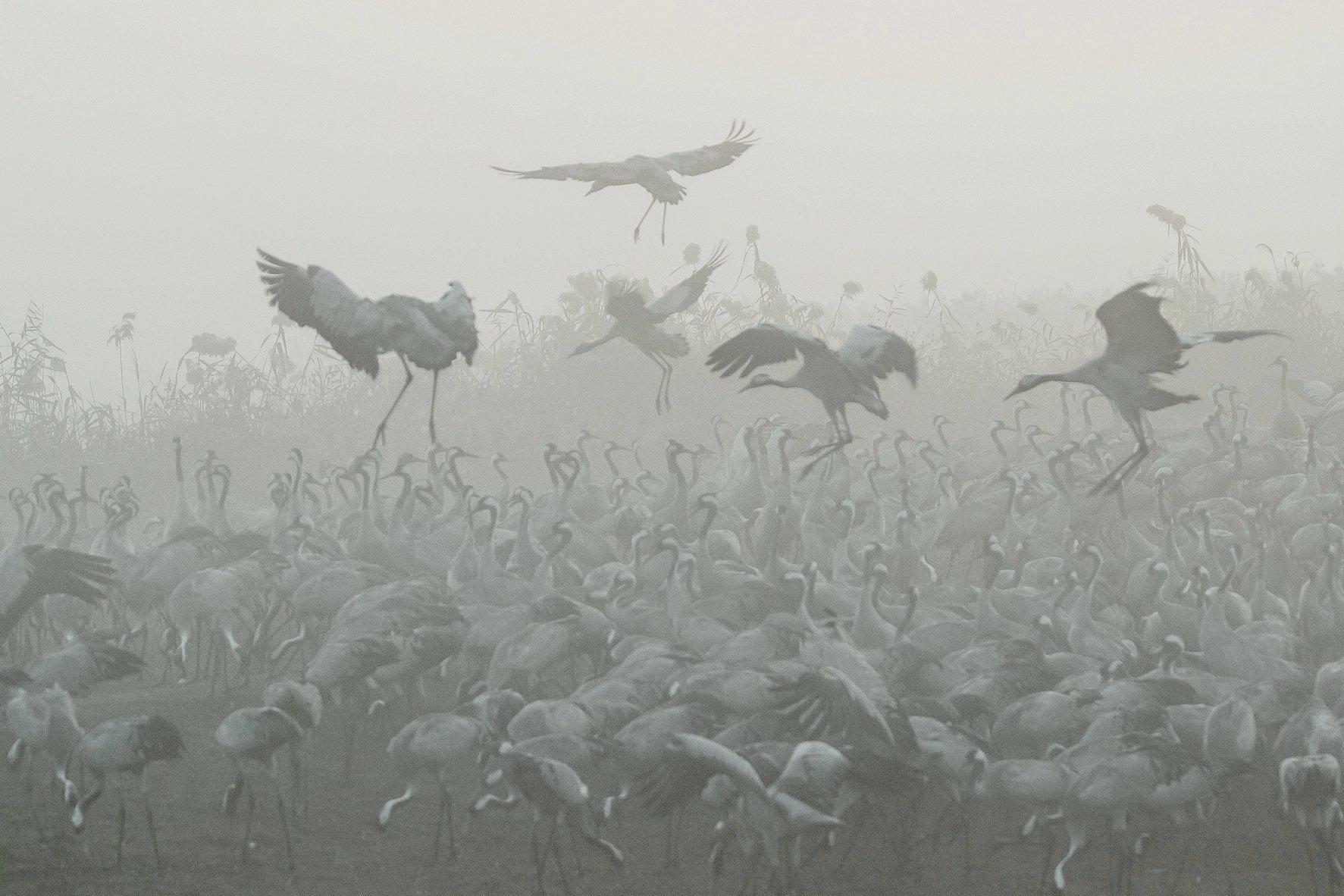 Журавли, Природа, Птицы, Туман, Утро, Наталья Рублина